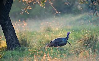 Turkey, wild