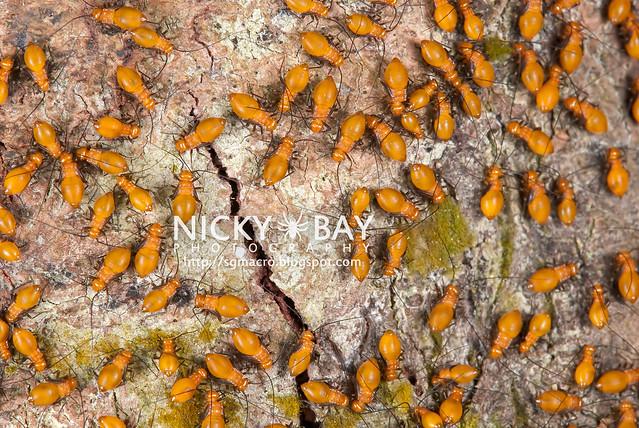 Barklice (Psocoptera) - DSC_4768