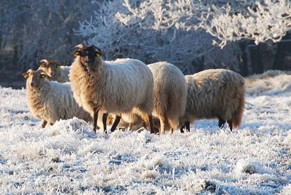 schapen_420