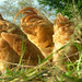 Free Range Chickens by myrtle point heritage farm