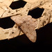 Small photo of Geometridae