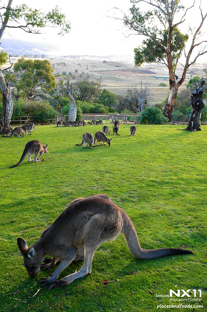 cimb tasmania kangaroos