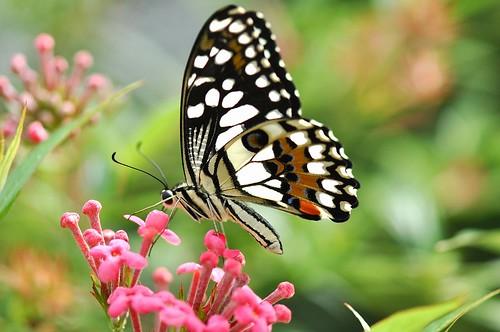 flower nature singapore limebutterfly papiliodemoleusmalayanus