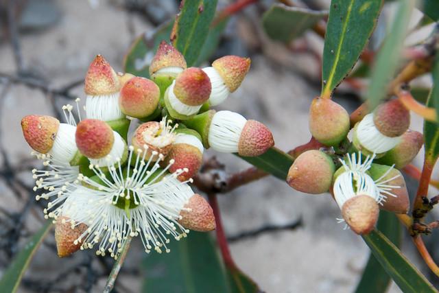 Eucalyptus cosmophylla, Isla Canguro, Australia