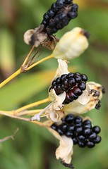 Belamcanda chinensis, Blackberry Lily