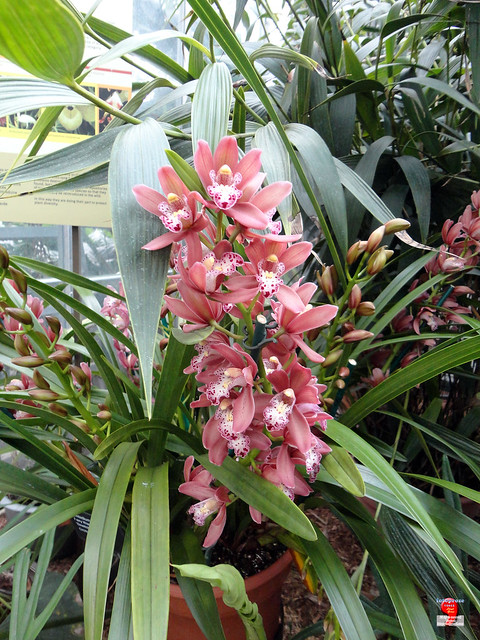 Orchids - Cymbidium Fairy Wand 'Bewitched' - Orchidaceae SC20121208 156