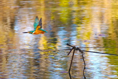 A kingfisher fly over the golden pond