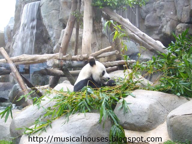 hong kong panda