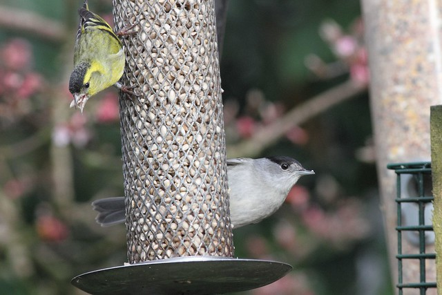 Siskin and Blackcap in our garden