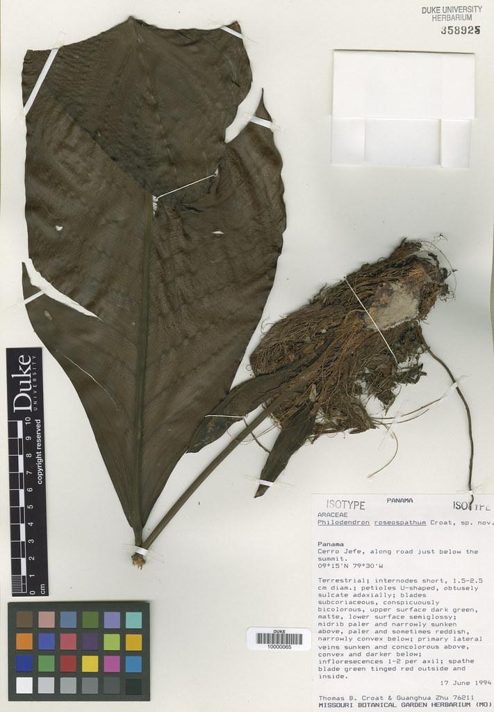 Araceae_Philodendron roseospathum