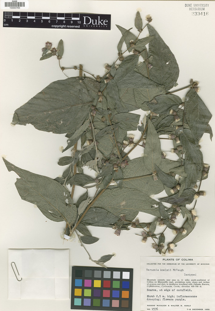 Asteraceae_Vernonia koelzii