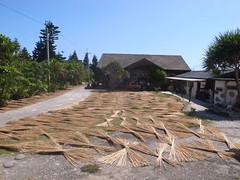 曬輪繖草。(圖片來源:林務局)