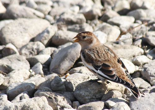 ohio bird nature canon canon20d camouflage sparrow snowbunting eastforkstatepark canonef100300mmf4556usm clermontcountyohio