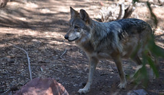 animal, canis lupus tundrarum, czechoslovakian wolfdog, gray wolf, red wolf, mammal, jackal, fauna, wolfdog, saarloos wolfdog, coyote, wildlife,
