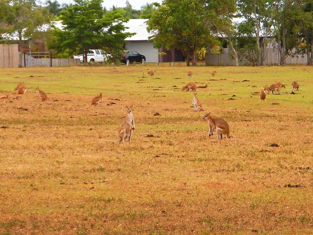 Kangaroos, Smithfield