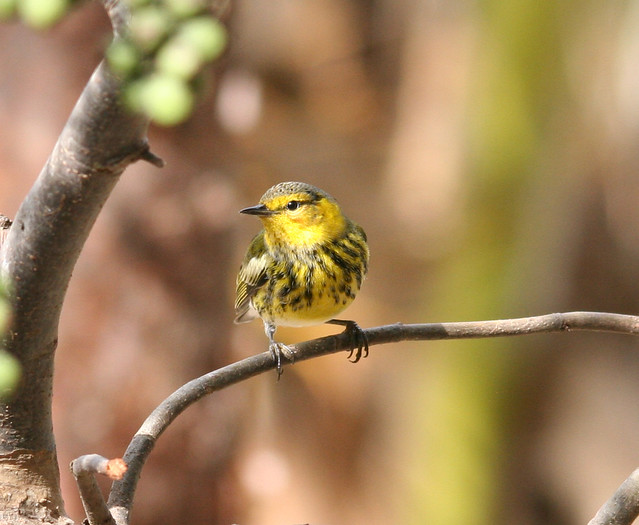 cape may warbler (1)