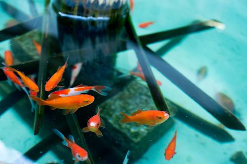 Kamakura photowalk 2012 - Goldfish in Hokoku-ji temple