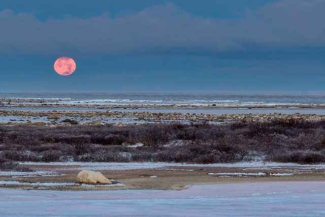 Moon Setting and Sleeping Polar Bear