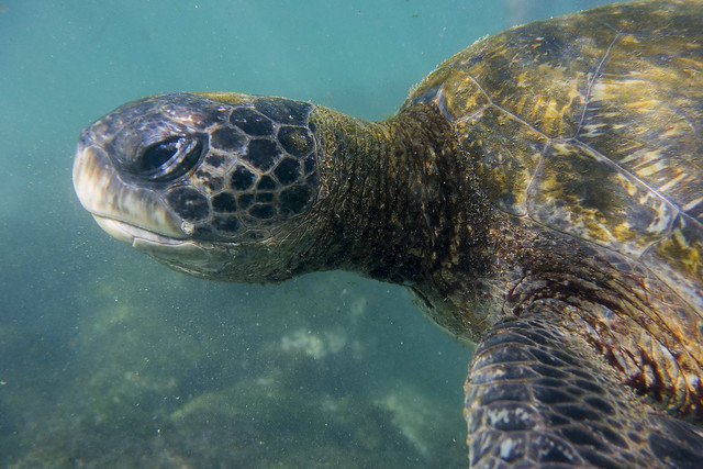 Galapagos Reptiles: Green Sea Turtle