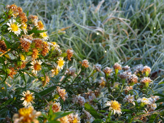 Frosty Michaelmas Daisies on