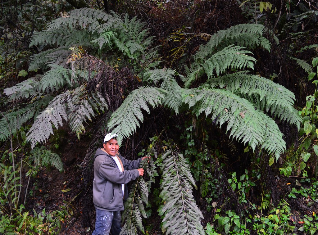 Woodwardia fimbriata - Giant Chain Fern