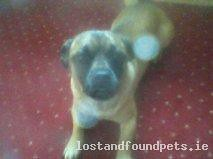 Mon, Oct 15th, 2012 Lost Male Dog - Mount Talbot, Ballygar, Roscommon