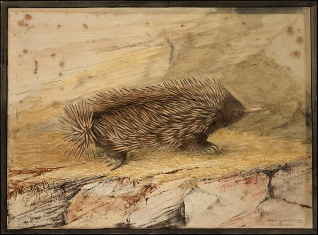Echidna ... porcupine ant-eater -- short-beaked echidna - Tachyglossus aculeatus 1807