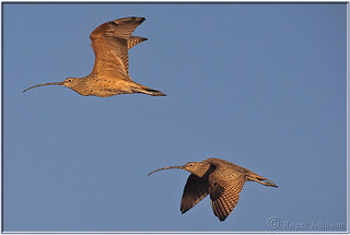 A pair of curlews catching some early morning rays.