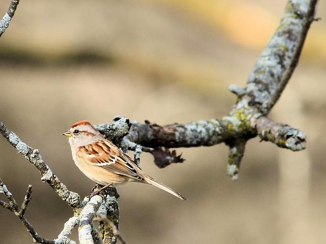 American Tree Sparrow 20121120
