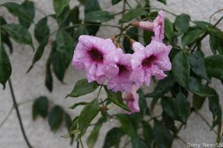 Wet Flower -Nex5N