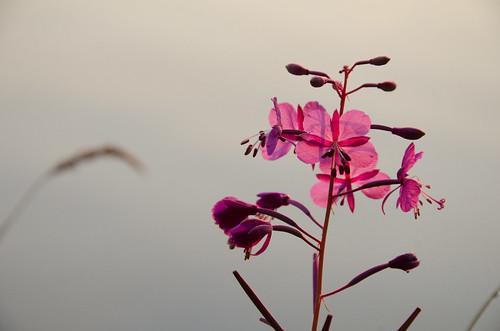 pink camping sunlight flower nature oregon sunrise purple unitedstates odelllake