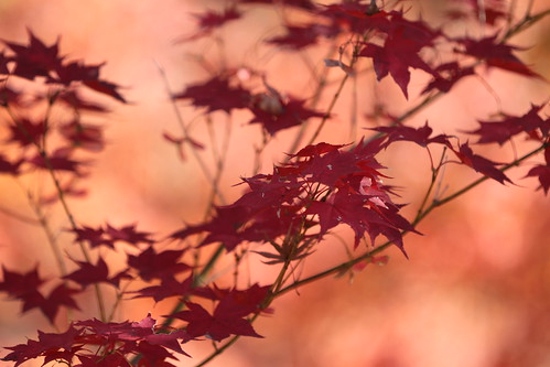 Red Leaves, in Kyoto