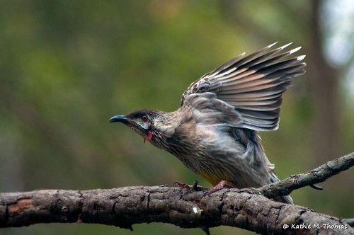 Juvenile Wattle Bird
