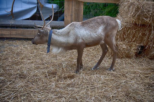 Real rudolph reindeer