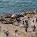Small photo of Seals at the cove, La Jolla
