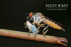Robberfly (Asilidae) - DSC_0945
