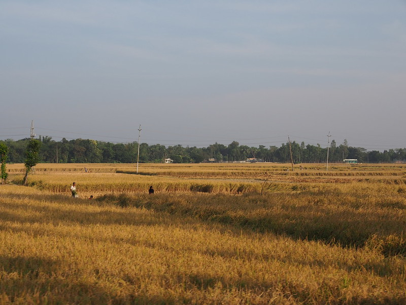 Golden Field of Bengal