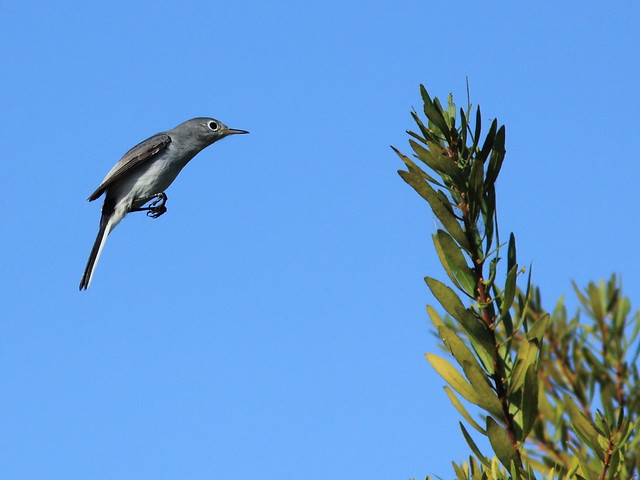 Blue-gray Gnatcatcher 2-20121201