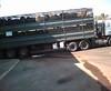 עגלים מובלים לשחיטה ממכלאות הפיטום במשאיות גדולות וצפופות