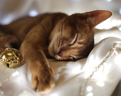 Festive Sleepy Kitten