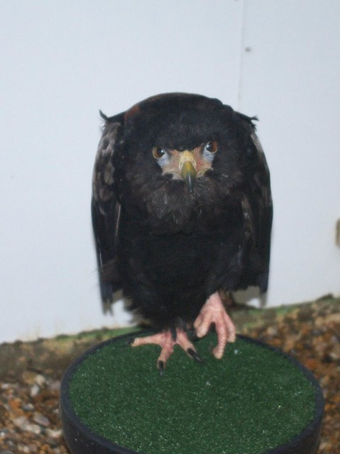 DSC_5370 Bateleur Eagle