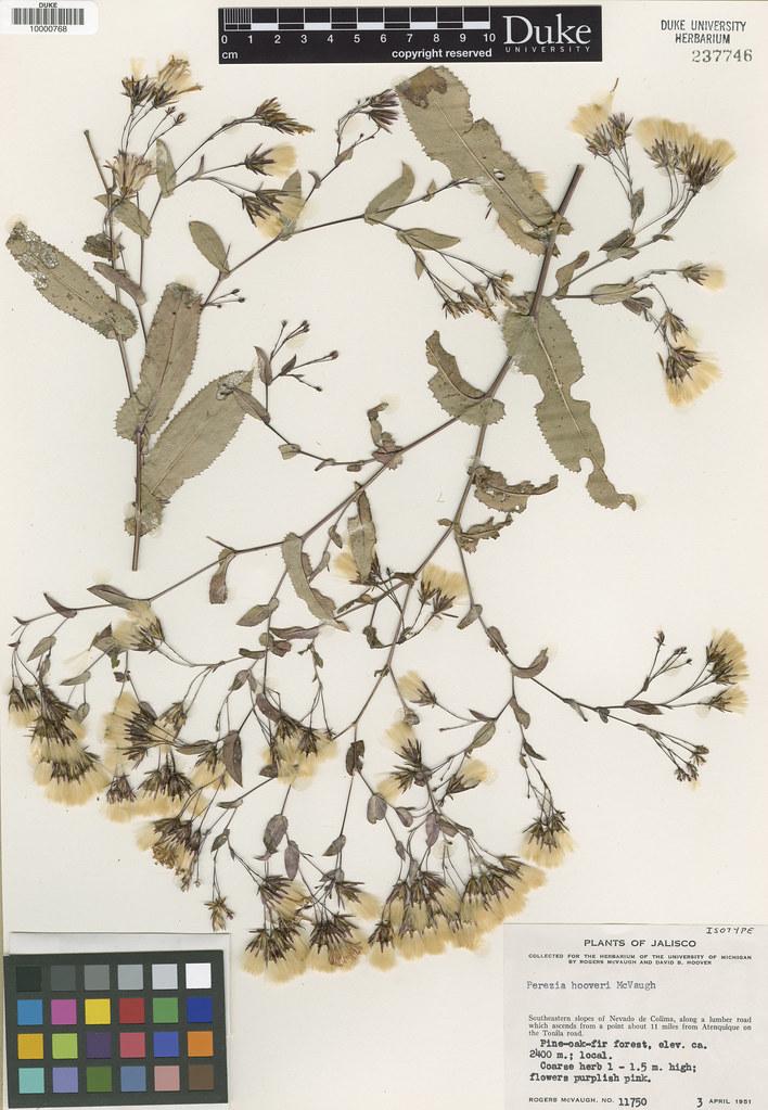 Asteraceae_Perezia hooveri