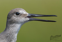 Young Willet 8_18 1 by krisinct- Thanks for 12 Million views!