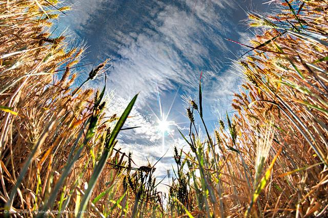 Sun Wheat as Seen on TV