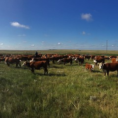 Sorted pairs today. One more field to go. #ranchlife #Herefords #specialareas #cowboyliving