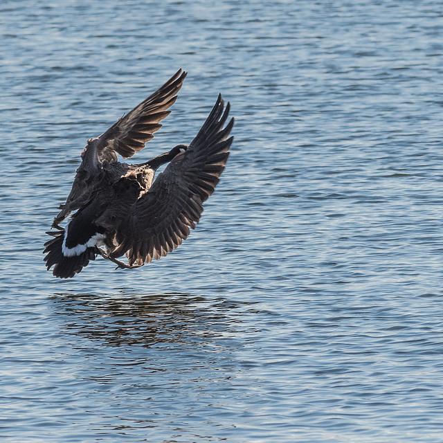 Canada Goose Landing - 1 of 3
