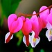 Those Lovely Bleeding Hearts