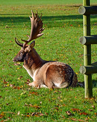 Stag at Burghley