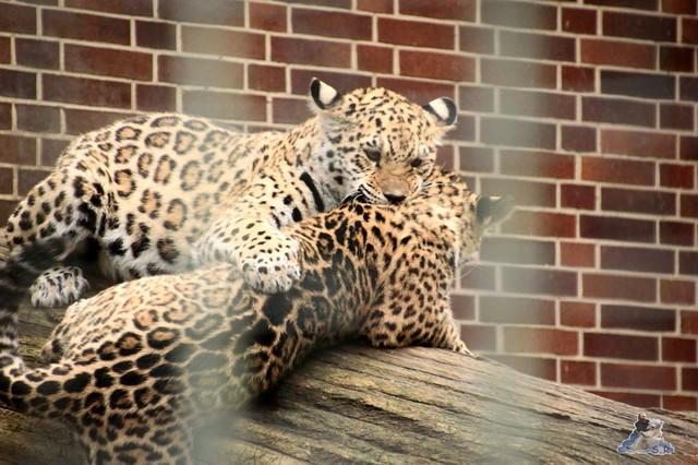 die zwei Jaguar Mädels sind am raufen