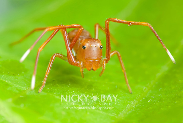 Ant-mimic Crab Spider (Amyciaea lineatipes) - DSC_6888